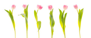 800px-Tulips_(5527679674)