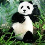 Panda-bear1